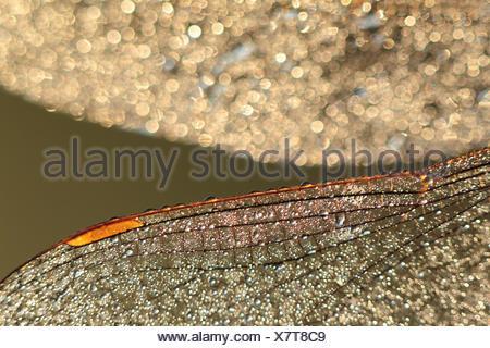 La rugiada-coperto le ali di una libellula in inizio di mattina di retroilluminazione Foto Stock