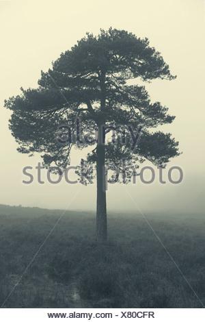 Albero nella nebbia all'alba, New Forest, Hampshire, Regno Unito