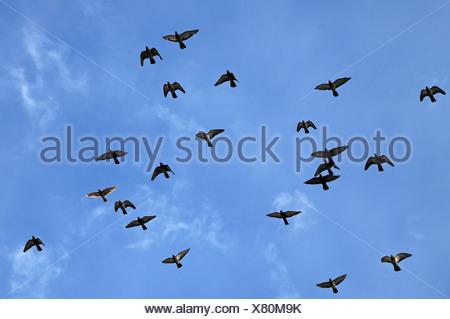 Piccioni volare contro un cielo blu, Lahr, Baden-Wuerttemberg, Germania, Europa Foto Stock