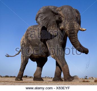Basso angolo di elefante, Etosha Pan, Namibia Foto Stock