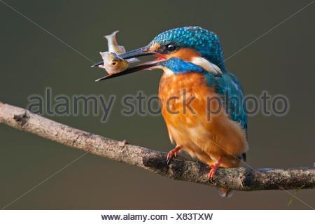 Comune di kingfisher, anche Eurasian o fiume kingfisher (Alcedo atthis) sul ramo con pesce, Riserva della Biosfera dell'Elba centrale Foto Stock