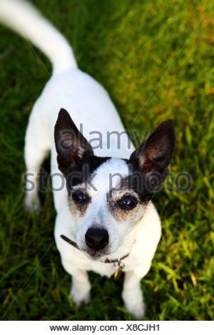 Un Jack Russell in piedi sull'erba Foto Stock