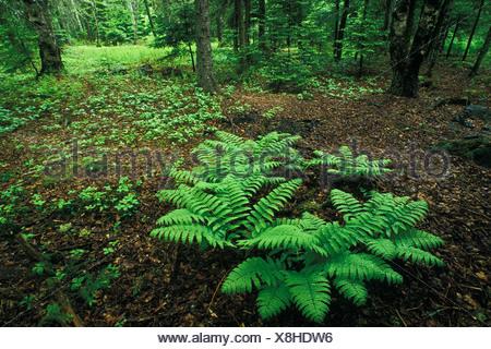 Felci nella primavera del bosco Piano, Kingston, New Brunswick, Canada Foto Stock