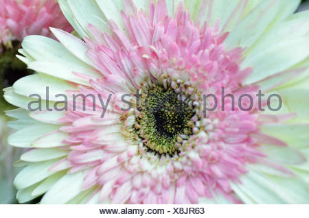 Il bianco e il crisantemo rosa Foto Stock