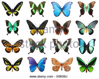Raccolta di bellissime farfalle tropicali isolati su sfondo bianco Foto Stock