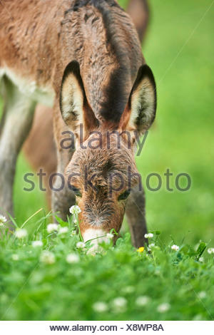 Asino domestico (Equus asinus asinus), otto ore di vecchio puledro di asino in piedi in un prato, ritratto, Germania Foto Stock