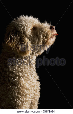 Un Waterdog portoghese il suo incollaggio con la lingua fuori Foto Stock