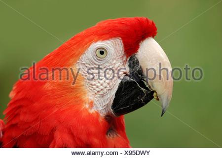 Scarlet Macaw (Ara Macao), ritratto, originario del Sud America, in cattività, Bergkamen, Renania settentrionale-Vestfalia Foto Stock