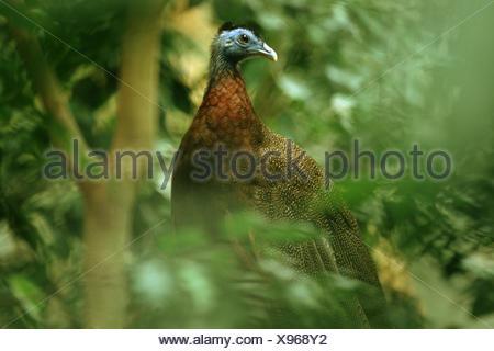 Grande argus fagiano (Argusianus argus), maschio seduto in una boccola Foto Stock