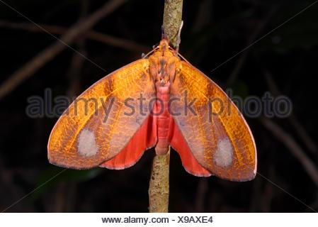 Farfalle tropicali in Madagascar Madagascar Nosy Be, Lokobe Reserva Foto Stock