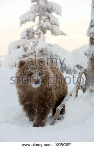 CAPTIVE: femmina marrone Kodiak Bear Cub passeggiate nella neve con il suo viso coperto di neve, Alaska Foto Stock