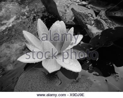 Angolo di Alta Vista di Wet Lotus sul lago Foto Stock