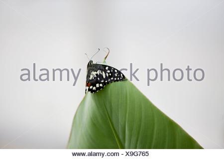 Un Lime, butterfly Papilio Demoleus malayanus sulla punta di una foglia Foto Stock