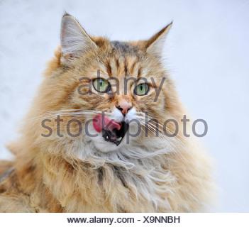 Gatto persiano leccare le sue labbra Foto Stock