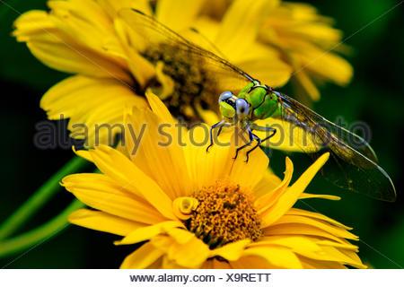 Dragonfly seduto sul fiore giallo Foto Stock