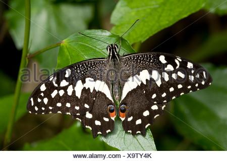 Lime a coda di rondine (farfalla Papilio demoleus) a riposo con ali aperte. Foto Stock