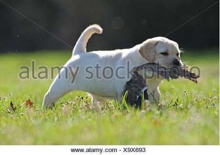 Il Labrador Retriever. Cucciolo che trasportano il germano reale ala. Germania Foto Stock