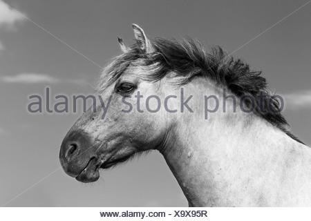 Cavalli Konik (Equus przewalskii f caballus), Tarpan o cavallo di Przewalski allevamento torna, ritratto, Germania Foto Stock