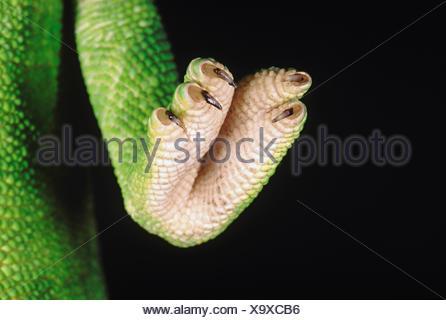 Chameleon zeylanicus. una chiusura del piede e artigli. il camaleonte ha la capacità di cambiare il suo colore così come ombra depe Foto Stock