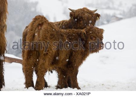 Highland bovini e vitelli in una tempesta di neve, Tirolo del Nord, Tirolo, Austria, Europa Foto Stock