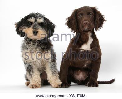 Tricolore merle Daxie-doodle cane bassotto cross Poodle, e cioccolato Cocker Spaniel. Foto Stock