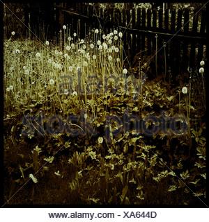 Il tarassaco in un giardino Foto Stock