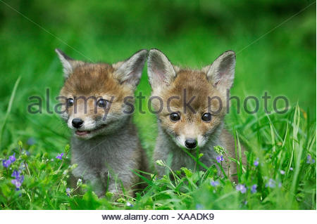 Red Fox, vulpes vulpes, Pup in erba lunga, Normandia Foto Stock