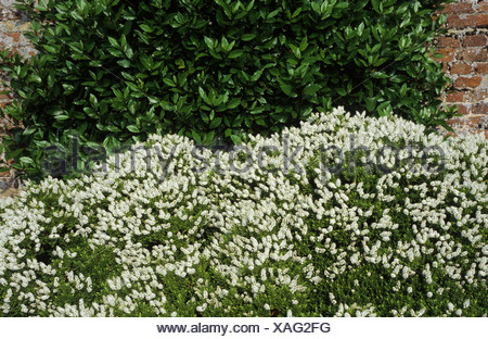 Hebe rakaiensis fiori bianchi evergreen pianta di for Hebe arbusto