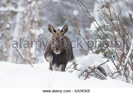 Unione elk, Alces alces, passeggiate nella neve. Foto Stock