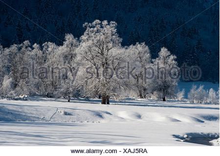 Albero con trasformata per forte gradiente frost, paesaggio invernale sul lago Weitsee, Chiemgau a Ruhpolding, Baviera, Germania, Europa Foto Stock