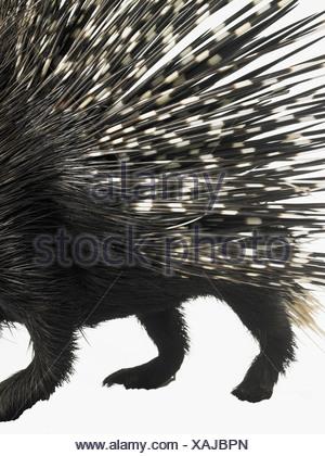 Porcupine quills Foto Stock