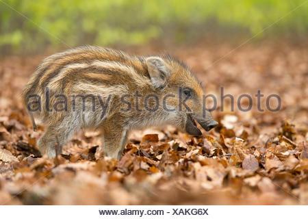 Il cinghiale (Sus scrofa), piglet in una foresta di primavera, captive, Nord Reno-Westfalia, Germania Foto Stock