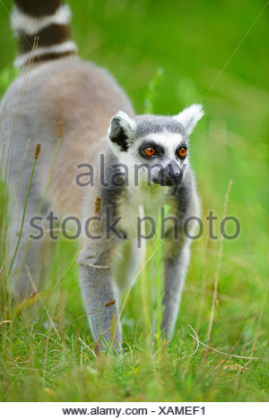 Anello-tailed lemur (Lemur catta), in un prato Foto Stock