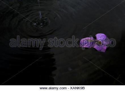 Angolo di Alta Vista del fiore viola in stagno Foto Stock