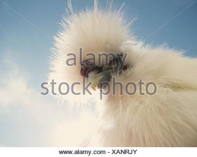 Ritratto di un gallo Silkie Foto Stock