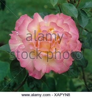 Aprire completamente la rosa rosa in fiore fiorisce la pace con le gocce di pioggia Foto Stock