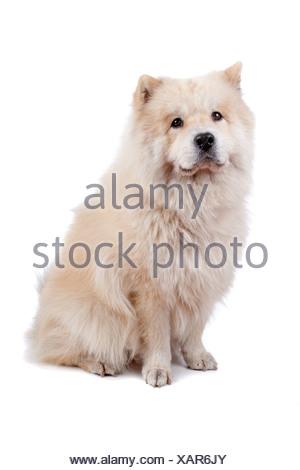 Carino di razza mista Chow-Chow cane e Samoiedo seduto, isolato su sfondo bianco Foto Stock