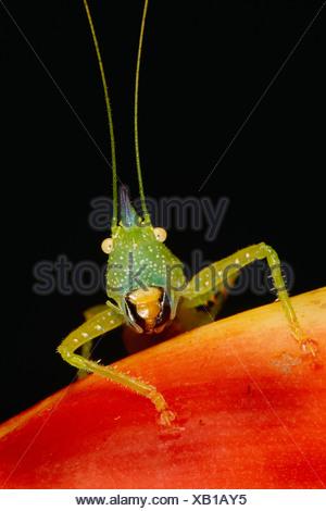 Il katydid, un tipo di grasshopper trovato nell'emisfero occidentale Foto Stock