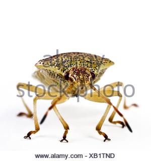 Bug di genitore, mothering bug (Elasmucha grisea), seduto a terra Foto Stock