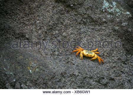 La terra del granchio Johngarthia lagostoma, si trova solo su quattro isole nel Sud dell'Oceano Atlantico. Foto Stock