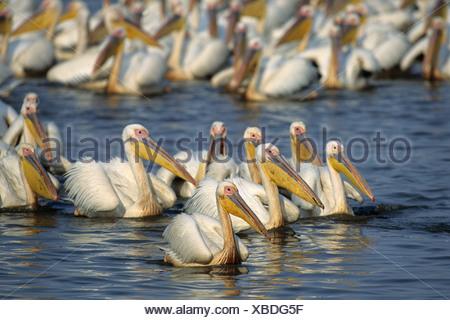 Great White pelican (pelecanus onocrotalus), grande gregge, mkuze Game Reserve, zululand, kwazulu-natal, Sud Africa e Africa Foto Stock