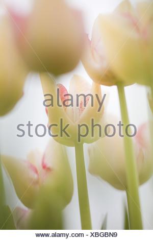 I tulipani Foto Stock
