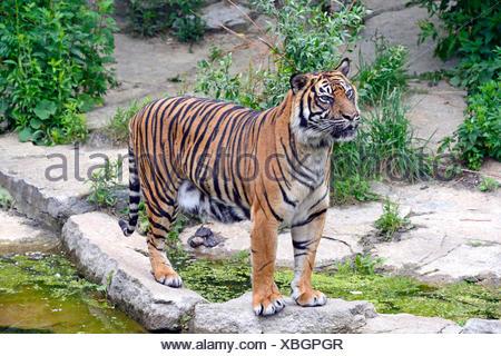La tigre di Sumatra (Panthera tigris sumatrae), femmina, captive, nativo di Asia, Berlino, Germania Foto Stock