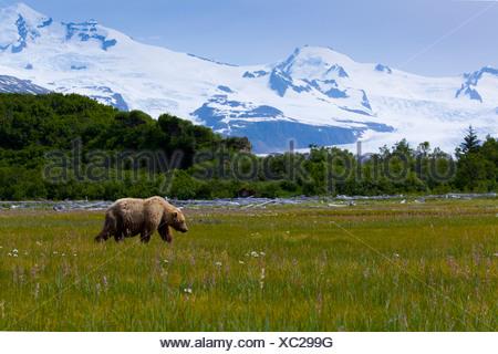 Coastal orso bruno di pascolare su carici, fiori selvatici e altre erbe in prato in Hallo Bay, Katmai National Park, Alaska Foto Stock