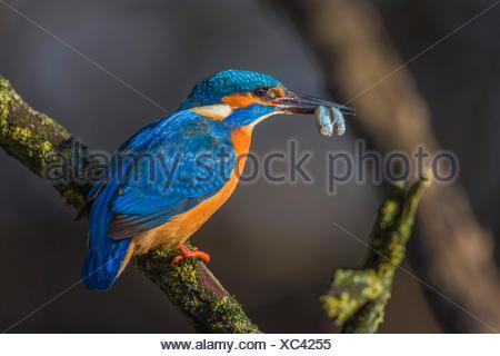Fiume kingfisher (Alcedo atthis), maschio con due simultaneamente catturate alborella nel disegno di legge, in Germania, in Baviera Foto Stock