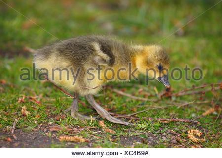 Graylag goose (Anser anser), Pulcino, Schleswig-Holstein, Germania Foto Stock