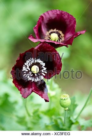 Close up di fiori viola all'aperto Foto Stock