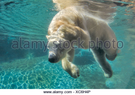 Orso polare, nuoto subacqueo, bear, animale Foto Stock