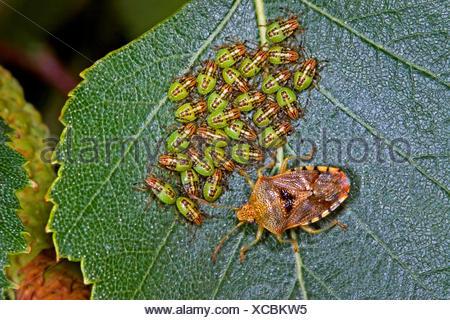 Bug di genitore, mothering bug (Elasmucha grisea), custodendo le sue larve, Germania Foto Stock