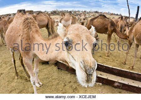 Dromedario cammelli (Camelus dromedarius), mercato di cammelli in Sebha, Libia, Africa Foto Stock